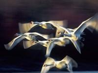 Mute Swan, Munich, Germany Fine-Art Print
