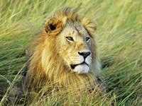 African Lion, Masai Mara, Kenya Fine-Art Print
