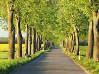 Lime Tree Alley, Mecklenburg Lake District, Germany 1 Fine-Art Print