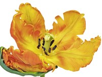 Parrot Tulip Close-Up Fine-Art Print