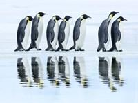 Emperor Penguin Group, Antarctica Fine-Art Print