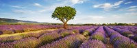 Lavender Field And Almond Tree, Provence, France Fine-Art Print