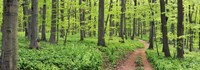 Beech Forest, Germany Fine-Art Print