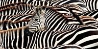 Herd of Zebras Fine-Art Print