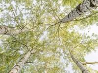 Birch Woods in Spring Fine-Art Print