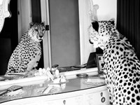 Cheetah Looking in Mirror Fine-Art Print