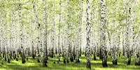Birch Forest in Spring Fine-Art Print