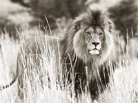 Male Lion Fine-Art Print