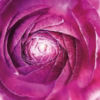 Ranunculus Abstract I Color Fine-Art Print
