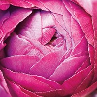 Ranunculus Abstract III Color Fine-Art Print