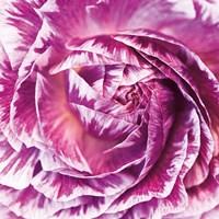 Ranunculus Abstract IV Color Fine-Art Print