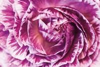 Ranunculus Abstract VI Color Fine-Art Print