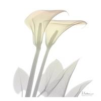 Sunday Morning Calla Lily Fine-Art Print