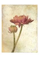 Ranunculus Bloom 1 Fine-Art Print