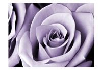 Lavender Rose Fine-Art Print