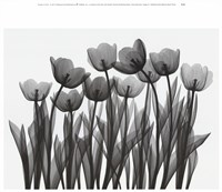 Tulip Exposures Fine-Art Print