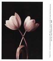 Blush Tulip I Fine-Art Print