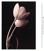 Blush Tulip III Fine-Art Print
