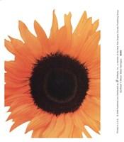 Sunflower In Bloom Fine-Art Print