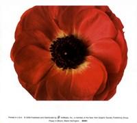 Poppy In Bloom Fine-Art Print