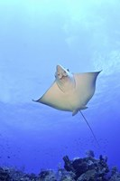 Spotted Eagle Ray Glides over the Wall, Grand Cayman Fine-Art Print
