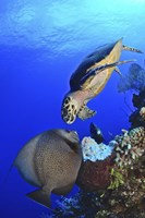 Hawksbill Sea Turtle and Gray Angelfish Fine-Art Print