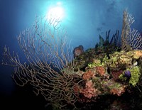 Gorgonian Sea Fans on Cayman's North Wall, Grand Cayman Fine-Art Print