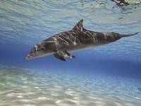 Bottlenose dolphin swimming the Barrier Reef, Grand Cayman Fine-Art Print