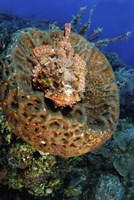 Scorpionfish hiding in a barrel sponge Fine-Art Print