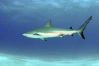 Caribbean reef shark, Nassau, The Bahamas Fine-Art Print