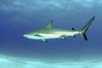Caribbean reef shark, Nassau, The Bahamas Fine-Art Print