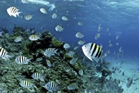 School of sergeant major fish, Nassau, The Bahamas Fine-Art Print