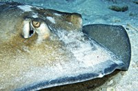 Close-up view of a Female Southern Atlantic Stingray Fine-Art Print