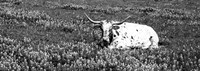 Texas Longhorn Cow Sitting On A Field, Hill County, Texas Fine-Art Print