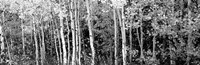 Aspen and Black Hawthorn trees in a forest, Grand Teton National Park, Wyoming BW Fine-Art Print