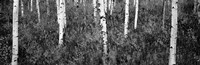 Aspen trees in a forest, Shadow Mountain, Grand Teton National Park, Wyoming Fine-Art Print