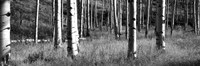 Aspen trees growing in a forest, Grand Teton National Park, Wyoming Fine-Art Print