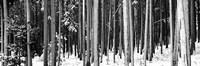 Lodgepole Pines and Snow Grand Teton National Park WY BW Fine-Art Print