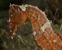 Close-up view of an Orange Seahorse Fine-Art Print