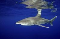 Oceanic Whitetip shark Fine-Art Print