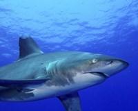 Close-up side view of an Oceanic Whitetip Shark Fine-Art Print