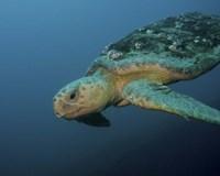 Loggerhead Sea Turtle off the coast of North Carolina Fine-Art Print