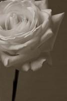 Sepia Rose Fine-Art Print