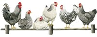 Hens, White Background Fine-Art Print