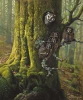 Tengmalms Owls Fine-Art Print