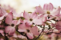 Dogwood Delight Fine-Art Print