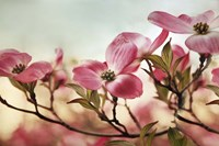 Dogwood Dreams Fine-Art Print