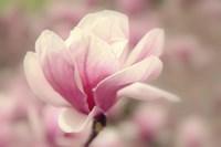 Magnolia Blossom Fine-Art Print