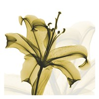 A Golden Lily Fine-Art Print