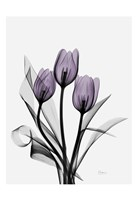 Three Purple Tulips H14 Fine-Art Print